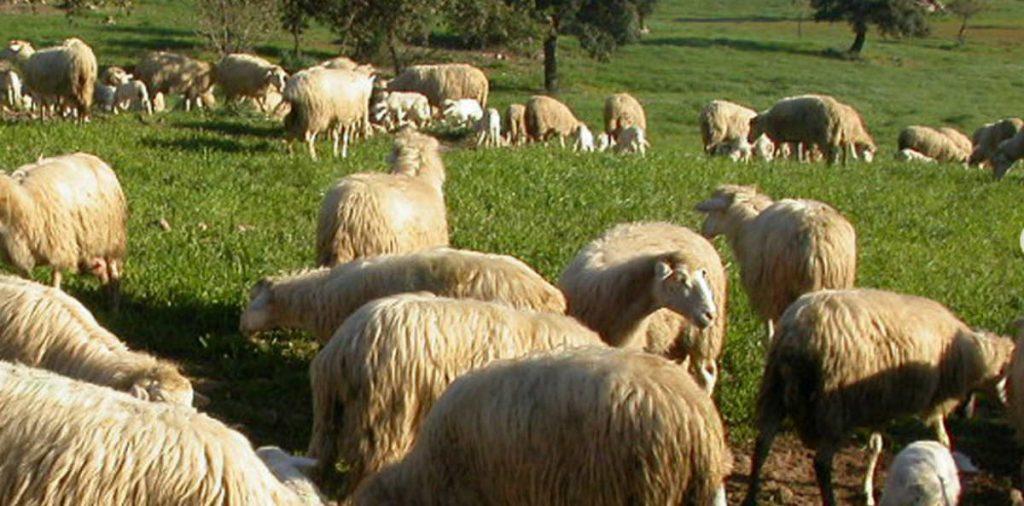 Caseificio Artigianale Monte Nieddu -pecore
